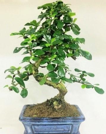 Zelkova S gövdeli Minyatür ağaç Bonzai  Kocaeli internetten çiçek satışı