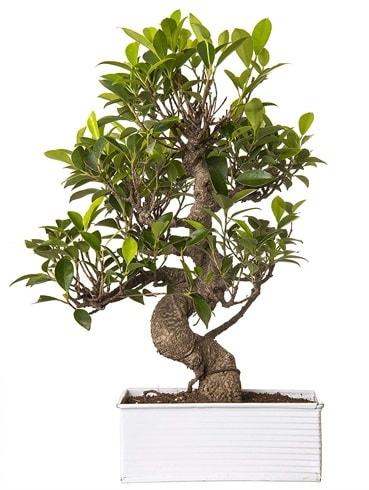Exotic Green S Gövde 6 Year Ficus Bonsai  Kocaeli çiçekçi mağazası
