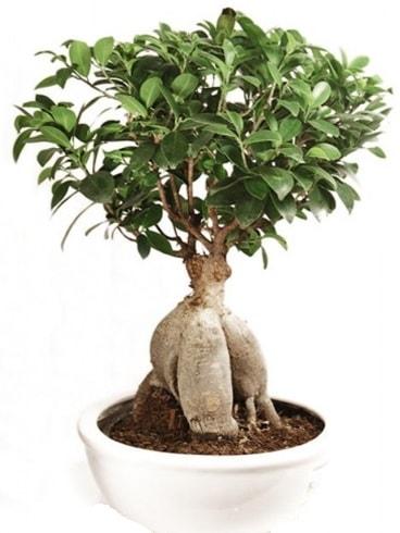 Ginseng bonsai japon ağacı ficus ginseng  hediye çiçek yolla
